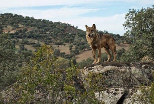 Parque sierra cardeña montoro lobo - Sierra de Cardeña y Montoro-Andalusia-Spain