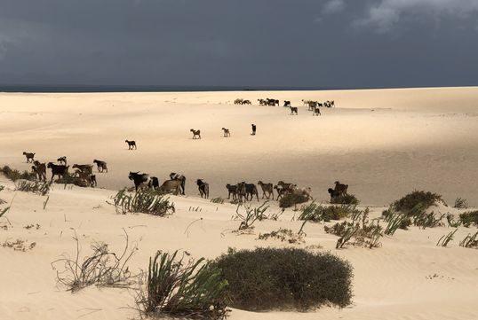 Cabras Dunas Corralejo e1588961338468 - Parque Natural de Corralejo-Islas Canarias-España
