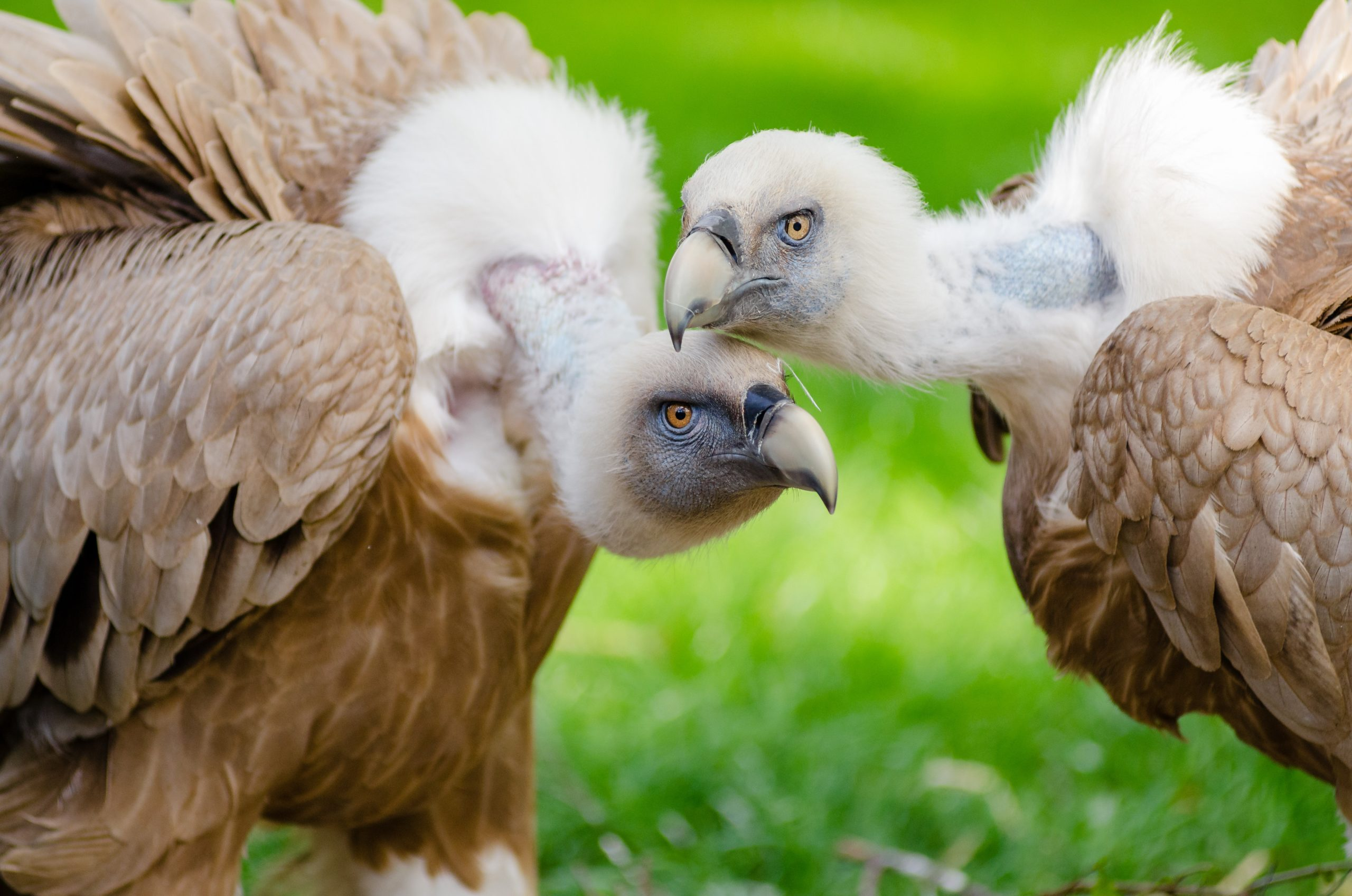 brown and white vultures standing on grass field in close up scaled - Get Out There
