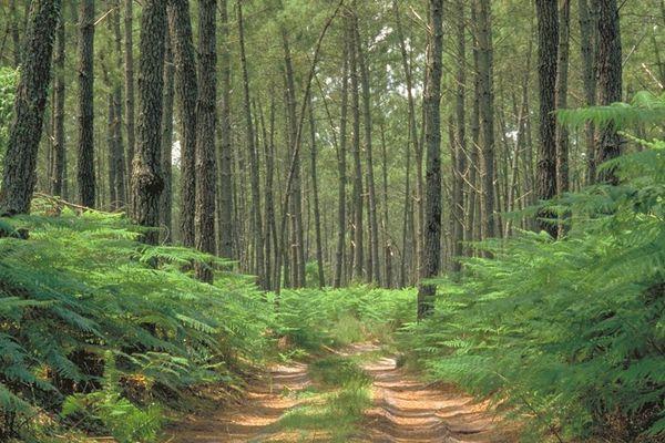 chemin en sousbois vert - Parc Naturel Régional des Landes de Gascogne-Gironda, Landas-France